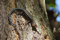 Five lined skink Stock Image
