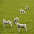 Five little lambs Royalty Free Stock Photo