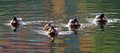 Five mallards Royalty Free Stock Photo