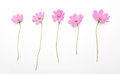 Five pink flowers isolated on white background Royalty Free Stock Photo