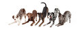 Five Playful Dogs Bowing Royalty Free Stock Photo