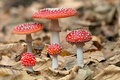 Five red mushrooms fungi between autumn leaves Stock Image