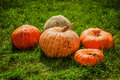 Five ripe orange pumpkins lying in the green grass Royalty Free Stock Images