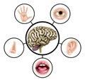 Five senses brain Royalty Free Stock Photo