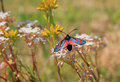 Five spot moth sitting on saxifraga wildflower blue and red Stock Images