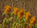 Five Sunflower Sisters Royalty Free Stock Photo