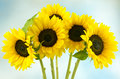 Five sunflowers on blue Royalty Free Stock Photo