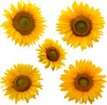 Five sunflowers isolated on white Royalty Free Stock Photo