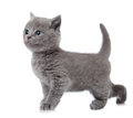 Five weeks old kitten Royalty Free Stock Photo