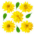 Five yellow color flowers with green leafs Royalty Free Stock Images