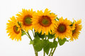 Five yellow sunflowers. Royalty Free Stock Photo
