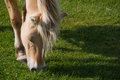 Fjord Horse eating grass Stock Photos