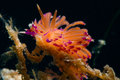 Flabellina species of nudibranch a indo pacific Stock Image