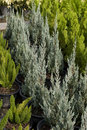 Flaky junipers juniperus squamata is a species of juniper native to the himalayas and china from northeastern afghanistan east to Stock Photo