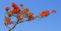 Flam-boyant, The Flame Tree, Royal Poinciana on blue background Royalty Free Stock Photo