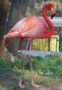 Flamant rose Image stock