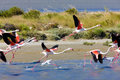 Flamants dans Camargue Photos libres de droits