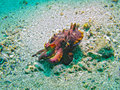 Flamboyant Cuttlefish, Limbeh Strait, Indonesia Royalty Free Stock Photos