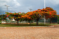 Flamboyant tree brasilia a colorful blooming in distrito federal capital of brazil Stock Photography