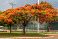 Flamboyant tree brasilia a colorful blooming in distrito federal capital of brazil Stock Image