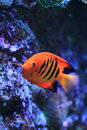 Flame angelfish Royalty Free Stock Photo