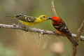 Flame-colored Tanager Royalty Free Stock Photo