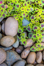 The flame nettle coleus leaves and pebbles background ebbles close up Stock Photos