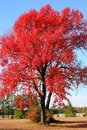 Flame Red Tree Stock Photo