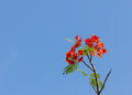 Flame tree blossom or royal poinciana on blue sky Stock Photo