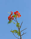 Flame tree blossom or royal poinciana on blue sky Stock Image