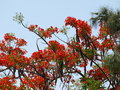Flame tree or flamboyant noted for its fern like leaves and flamboyant display of flowers it is also grown as an ornamental Royalty Free Stock Photo