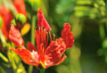 Flame tree flower Stock Photo