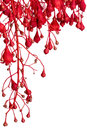 Flame Tree Red Flower Border over White Royalty Free Stock Photo