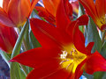 Flame tulips Stock Image