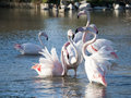 Flamengos in a pond at camargue park france Stock Photography