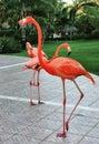 Flaming flamingos pink rule in punta cana Royalty Free Stock Photo