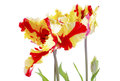 Flaming Parrot Tulip Flowers. Royalty Free Stock Photo