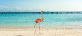 Flamingo on the beach. Aruba island Royalty Free Stock Photo