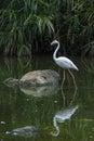 Flamingo beautiful is dringking in the lake Stock Image