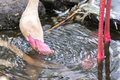Flamingo Bird Drinking Water. Royalty Free Stock Photo