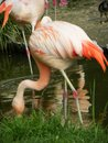 Flamingo bird eating in the grass a close up Stock Image