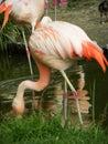 Flamingo bird eating Royalty Free Stock Photo