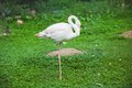 Flamingo bird image of white Stock Photo