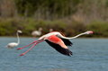 Flamingo bird in natural habitat flying Stock Image
