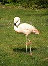 Flamingo bird Royalty Free Stock Photo