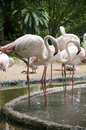 Flamingo birds a group of a Royalty Free Stock Images