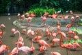 Flamingo birds Royalty Free Stock Photo