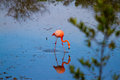 Flamingo caribbean in the galapagos islands Stock Image