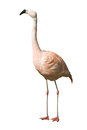 Flamingo Chilean Royalty Free Stock Photo