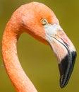 Flamingo closeup bird head and beak Royalty Free Stock Image